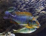 Petrochromis macrognathus - Петрохромис макрогнатус
