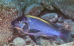 Petrochromis polyodon - Петрохромис полиодон