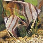 Pterophyllum altum - Алтум