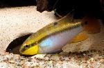 Pelvicachromis roloffi - Пелвикахромис ролофи