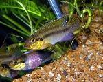 Pelvicachromis subocellatus - Пелвикахромис субоцелатус