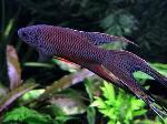 Macropodus spechti (concolor) - Черен макропод