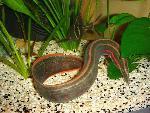 Mastacembelus erythrotaenia - Огнена змиорка