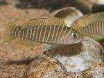 'Lamprologus' similis - Лампрологус симилис