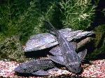Hypostomus plecostomus - Хипостомус