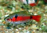 Puntius (Barbus) ticto - Одески барбус