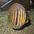 Symphysodon discus - Дискус Хекел