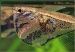 Carnegiella strigata - Риба брадва