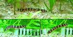 Pangio (Acanthophthalmus) kuhlii - Кули