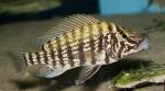 Lobochilotes labiatus - Танганайска зебра