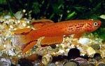 Aphyosemion australe - Южен  Афиосемион