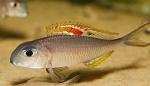 Xenotilapia nigrolabiata - Ксенотилапиа нигролабията, червена принцеса