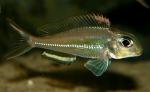 Xenotilapia ornatipinnis - Ксенотилапия орнатипинс