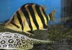 Datnioides microlepis - Сиамска тигрова риба