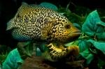 Parachromis managuensis - Ягуар цихлида