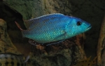 Nimbochromis fuscotaeniatus - Нимбохромис фуско