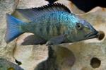 Fossorochromis rostratus - Фосорохромис ростратус