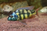 Placidochromis johnstoni - Пласидохромис джонстъни
