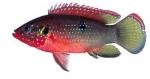 Hemichromis letourneuxi - Африканска риба бижу