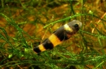 Brachygobius xanthozonus - Гоби пчеличка