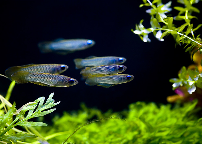 Aplocheilichthys normani for Kleine zierfische