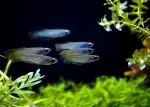 Aplocheilichthys normani  - Аплохеликтус нормани