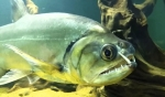 Hydrolycusarmatus - Пияра, Гигантска риба вампир