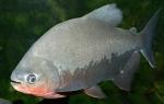 Piaractusbrachypomus - Червено паку