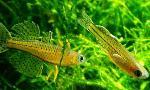 Pseudomugil gertrudae - Псевдомугил гертруди